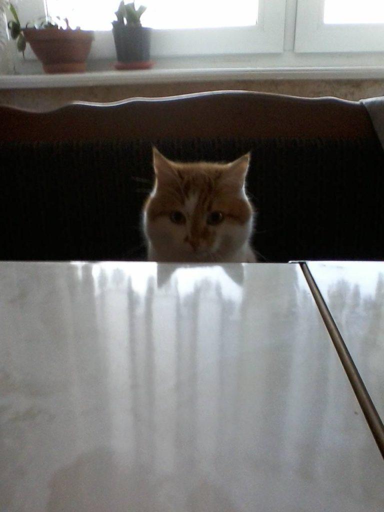 домашний питомец кот 2